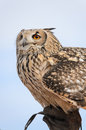 Eagle owl on breeder s hand Stock Image