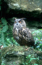 Eagle owl bubo bubo single bird on rock Royalty Free Stock Image