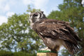 Eagle owl a captive milky sat on a perch Stock Photo