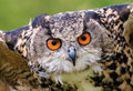 Eagle Owl close up Royalty Free Stock Photo