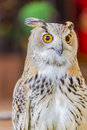 Eagle owl eurasian eagle owl big eyes looked to the camera Stock Photography