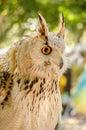 Eagle owl eurasian eagle owl close up Royalty Free Stock Photography