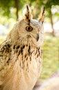 Eagle owl eurasian eagle owl close up Stock Photography
