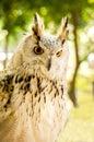 Eagle owl eurasian eagle owl close up Royalty Free Stock Photo