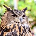 Eagle owl eurasian eagle owl close up Stock Image