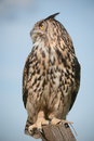 Eagle owl a falconers perches on a fence post and surveys its surroundings against a blue sky Stock Images