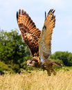 Eagle Owl flying Royalty Free Stock Photo
