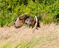 Eagle owl flying over a meadow low Stock Photography