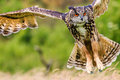 Eagle owl flying over a meadow Royalty Free Stock Photo