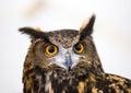 Eagle owl head photo close up Stock Photo
