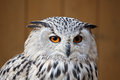 Eagle owl with his big and beautiful oranges eyes portrait of Stock Image