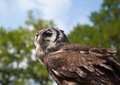 Eagle owl a milky sat on a perch Royalty Free Stock Photo