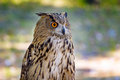 Eagle-owl with orange eyes Royalty Free Stock Photo