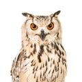 Eagle owl portrait Royalty Free Stock Photo