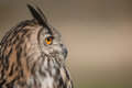 Eagle owl a side view of the head of a european with visual emphasis on the eye Stock Photography