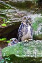 Eagle owl two owls in a rocky terrain Royalty Free Stock Photo