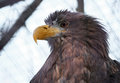 Eagle portrait looking to right Royalty Free Stock Photo