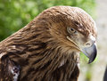 Eagle portrait of a wild close up Stock Image