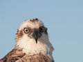 Eagle portret of an s head Royalty Free Stock Image