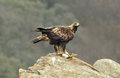 Eagle with prey on rock golden Royalty Free Stock Photo