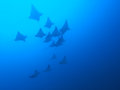 Eagle ray Royalty Free Stock Image