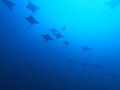 Eagle ray flying Royalty Free Stock Image