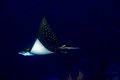 Eagle ray manta while diving in Maldives Royalty Free Stock Photo