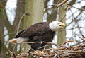 The eagle's call Royalty Free Stock Photo