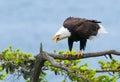 Eagle screaming chauve colombie britannique canada Images stock