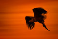 Eagle silhouette a male white tailed in against the sunset sky flies back to the nest with a final catch of the day to feed his Stock Photo