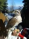 Eagle sitting on hand Stock Image
