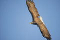 Eagle subindo Foto de Stock Royalty Free