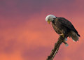 Eagle on sunset background Royalty Free Stock Photography
