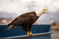 Eagle on a trash dumpster bald sitting blue Royalty Free Stock Photo