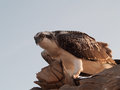 Eagle watching out from a high point over te red sea Stock Image