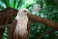Eagle white head in zoo Royalty Free Stock Photos