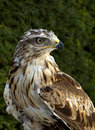 Eagle the wild pose at hand Royalty Free Stock Images