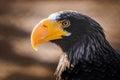 Eagle with yellow beak watching Stock Photos