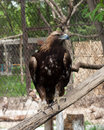 Eagle zoo Stock Photo