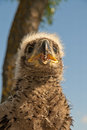 The eaglet eagle nestling sitting on nest Royalty Free Stock Images