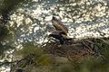 Eaglet learns to fly Stock Images
