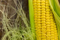 Ear of corn Royalty Free Stock Photos