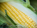 Ear of corn on the cob Stock Photos