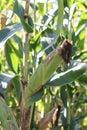 Ear of corn Royalty Free Stock Photo