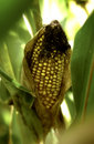 Ear of corn on the stalk in the field Stock Image