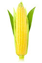 Ear of Corn / vertical /  isolated Royalty Free Stock Photo