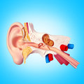 Ear d illustration of human snstomy Stock Photos