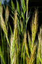 Ear of green wheat on a black background Royalty Free Stock Photo