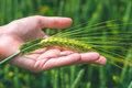 Ear of green wheat in hand, close up Royalty Free Stock Photo