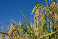 Ear of rices on plantation Royalty Free Stock Photo